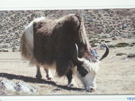 Yak - Hochlandrind: Nur das feine ausgekämmte Unterhaarwird zu  weicher Yakwolle verarbeitet