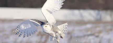 Schneeeule, aufgenommen von einer Überwachungskamera in Kanada.