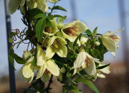 ©JAVOY PLANTES, clématite Christmas Surprise, spéciale Noël, floraison hivernale