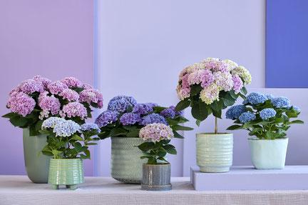 ©Magical Hydrangea, les hortensias d'intérieur