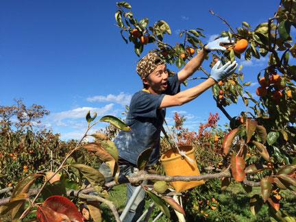 瑞穂市で柿の収獲