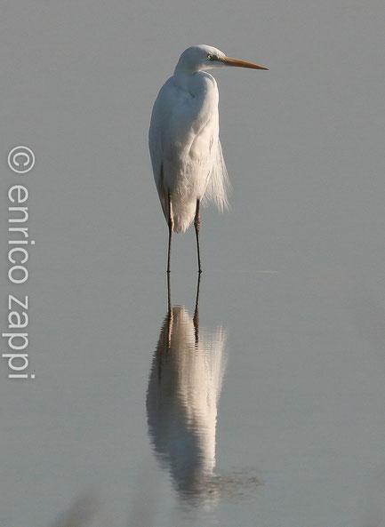 Airone bianco si specchia nelle acque salmastre delle Saline di Cervia (Ra)