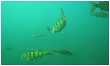 Unterwasseraufnahme Fühlinger See mit Fischen