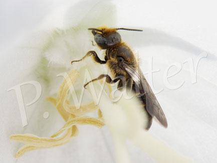 Bild: Glockenblumen-Scherenbiene