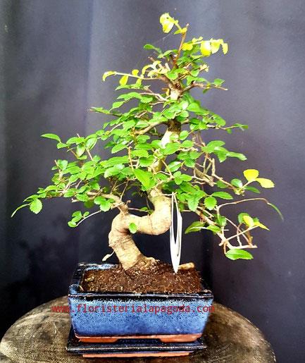 Bonsái M 15cm    PVP 35€ ref bonsai01