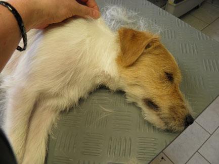 9 Monate junger Parson Russel Terrier *Cookie* geniest es förmlich gezupft zu werden!
