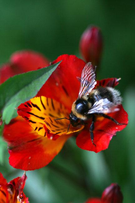 Macro of a Bumblebee. Photograph copyright by Graham Howard (c) 2014