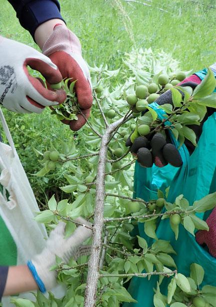 無農薬栽培の梅の収穫体験を農業体験の「さとやま農学校」にて