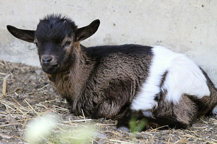 A sweet little goat called Fudge.
