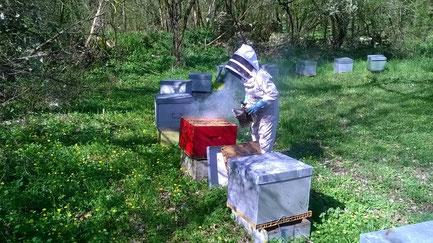 Julie de l'abeille villadéenne en combinaison d'apicultrice en train d'enfumer une ruche dans un rucher de Charente Maritime afin de vérifier la santé et le développement de la colonie