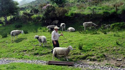 """Freitag: Fahrt entlang der der Panoramastraße """"Ring of Kerry"""" mit einer kontrastreichen Landschaft, Flüssen und zauberhaften Dörfern. Dort besuchen wir die """"Kells Sheep Farm"""", wo uns ein Schafhirt über seine Arbeit erzählt."""