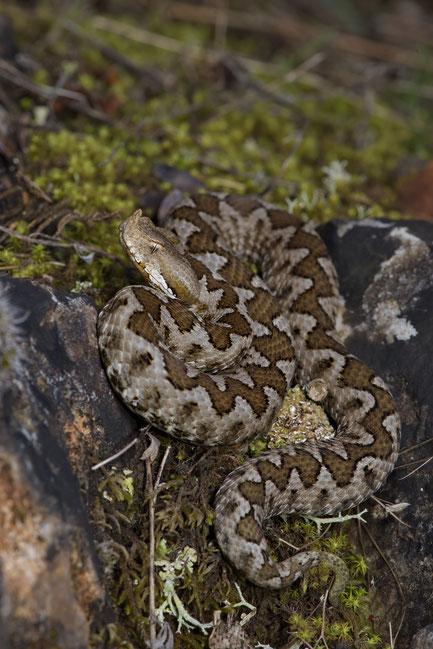 Prächtig gefärbtes Sandotter-Weibchen
