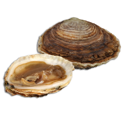 Huître plate ou Belon de Cancale. La Fine de Cancale