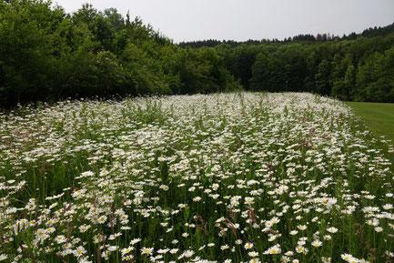 Blütenreicher Saum auf dem Golfplatz Hoberge, Foto: C. Quirini-Jürgens