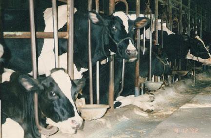 身動きが取れずに飼育される牛たち