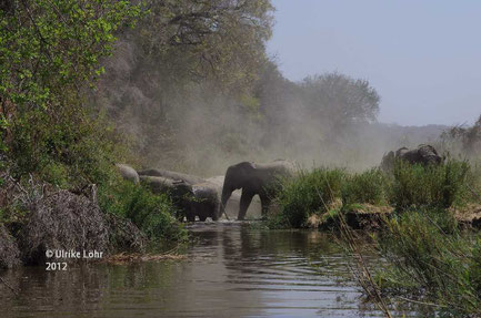 Eine Elefantenherde durchquert den Sabie River