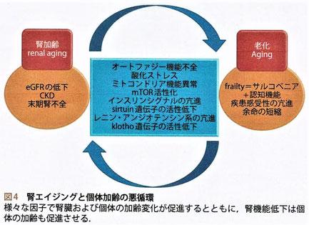 腎エイジングと個体加齢の悪循環