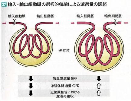 輸入・輸出細動脈の選択的収縮による濾過量の調節