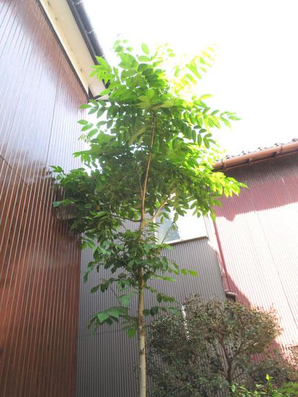我が家の漆の木