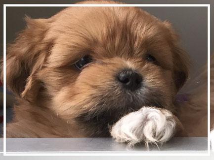 schattig Mix hondje kleine boomer pup kruising tussen twee langhaar hondjes