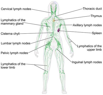 Das Lymphsystem durchzieht den gesamten Körper.
