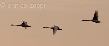Volo di cigni a Valle Mandriole al tramonto.