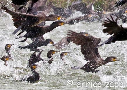 Il cormorano comune (Phalacrocorax carbo (Linnaeus, 1758)) è un uccello che negli ultimi venticinque anni si è adattato molto bene nelle zone umide Emiliano Romagnole tanto da divenire quasi infestante!