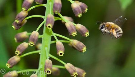 """Apide colto in volo mentre va a """"visitare"""" per bottinare alcuni fiori in bocciolo di Muscari Comosum."""