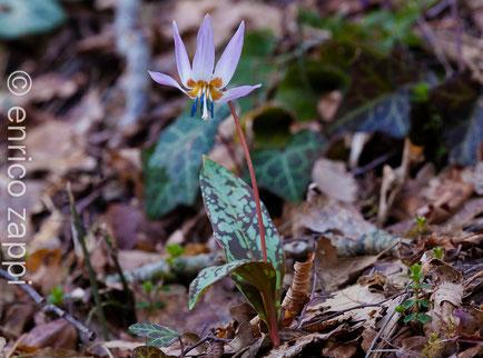 Dente di Cane (Erythronium dens-canis L., 1753) è una pianta erbacea bulbosa appartenente alla famiglia delle Liliaceae.