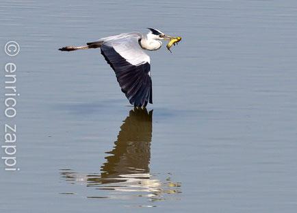 Airone cenerino (Ardea cinerea Linnaeus, 1758) in volo con una preda appena conquistata