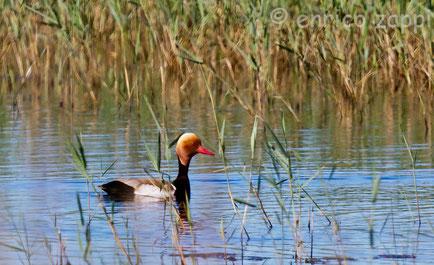 Il mio primo Fistione turco (Netta rufina, Pallas 1773) visto in natura nel Parco Naturale del Delta del Po.......che emozione!!!