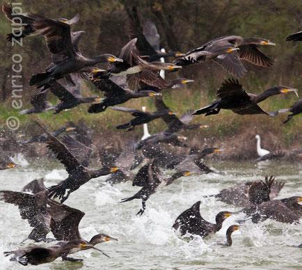 Il Cormorano, per la sua peculiare capacità di ottimo pescatore di pesci, è un uccello inviso ai pescatori!