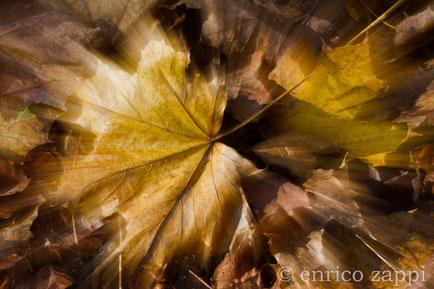 Allegoria d'Autunno: tappeto di foglie d'Acero.