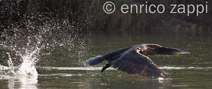 Cormorano in volo: un pescatore di prim'ordine! Canon EOS 5D Mark II - ob. 100/400 a 400 mm.- f / 6,3 - t. 1/1000 sec. - ISO 500