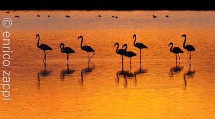 Gruppo di fenicotteri nelle luci di un tramonto giallo arancio si specchiano nel chiaro della Salina.