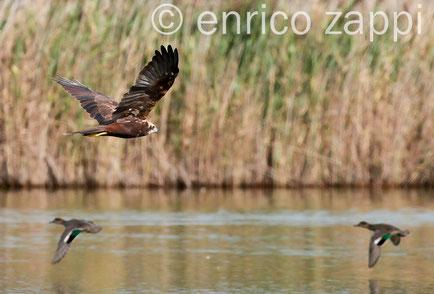 Falco di Palude in caccia, sullo sfondo 2 alzavole fuggono
