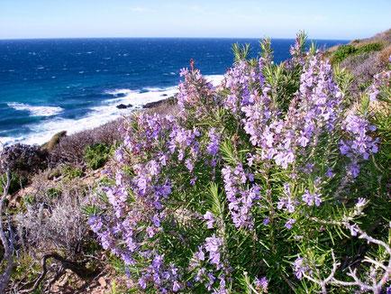 Romarin officinal CT verbénone  en fleurs - Corse - Famille botanique : Lamicaée