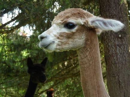 Unsere Alpakastute Esther