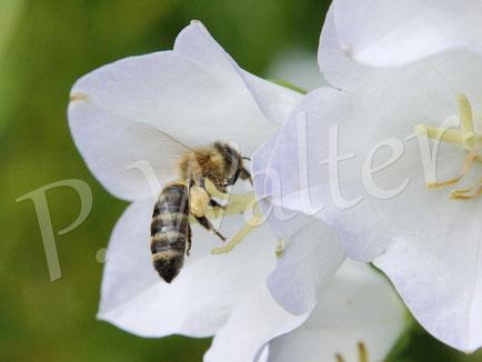 21.06.2015 : Honigbiene an der Glockenblumenblüte