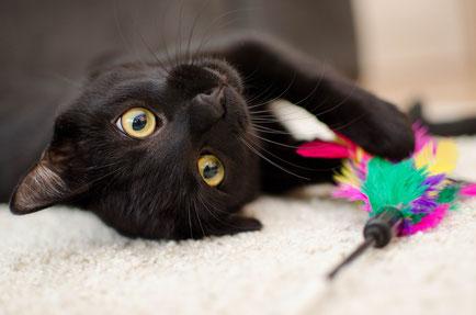 Katze beschäftigen - Schwarze Katze mit Federspielzeug