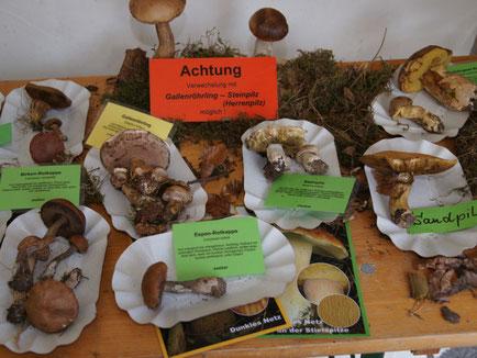 Trotz großer Trockenheit konnten über 130 Pilsarten gesammelt und ausgestellt werden.