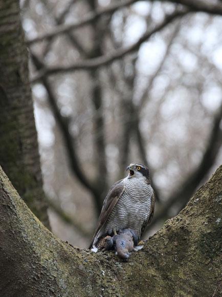 ●2月末にオオタカがキジバトを捕獲したところ(武蔵野コッツウォルズの森にて)