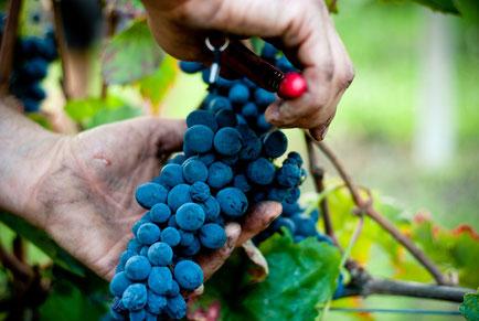 gite accueil en vignoble dans les vignes de l'Aude