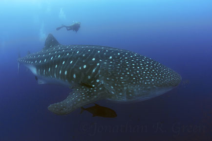 Galapagos Shark Diving - Dive with Whale Sharks