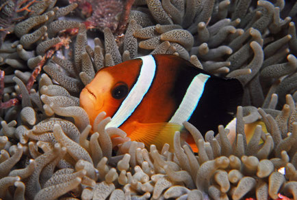 Clown fish in Indonesia, ©Galapagos Shark Diving