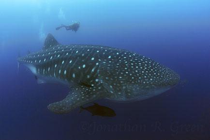 Galapagos Shark Diving - Bucea con tiburones ballena