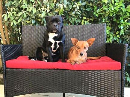convivenza tra staffy e altri cani