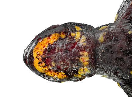 Batrachochytrium salamandrivorans infection on Salamandra salamandra Ruhrgebiet 2019 Bsal chytrid infection crysis amphibian