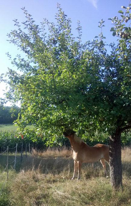 Liegen keine Äpfel mehr unten, holt man sie sich eben direkt vom Baum...