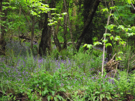 Bluebells, ancient woodland, Forest of Dean, England, Wales border.